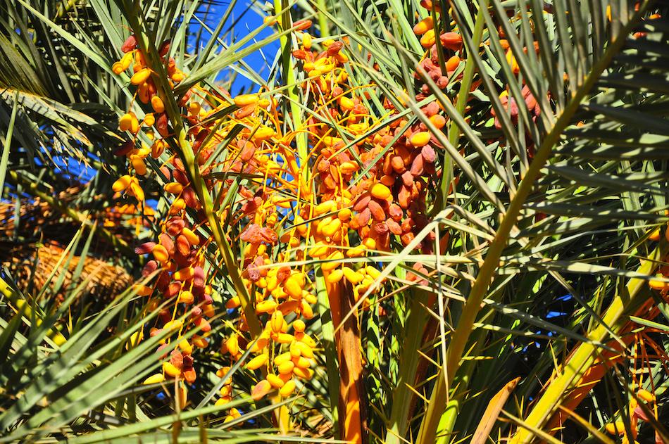Tata palmiers dattiers